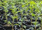 Plantas de semillero grande